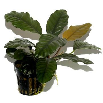 Anubias barteri 'Coffeefolia' Tropica - Aquascaping, [Product_type] - Aquarium plants Canada, [Product_vendor] - Aquarium stone, Driftwood, [shop name] The Wet Leaf