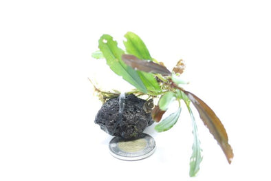 Bucephalandra 'Ara' Individual Plant - Aquascaping, [Product_type] - Aquarium plants Canada, [Product_vendor] - Aquarium stone, Driftwood, [shop name] The Wet Leaf
