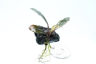 "Bucephalandra sp. "" Pink Lady"" - Aquascaping, [Product_type] - Aquarium plants Canada, [Product_vendor] - Aquarium stone, Driftwood, [shop name] The Wet Leaf"