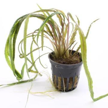 Cryptocoryne crispatula Tropica - Aquascaping, [Product_type] - Aquarium plants Canada, [Product_vendor] - Aquarium stone, Driftwood, [shop name] The Wet Leaf