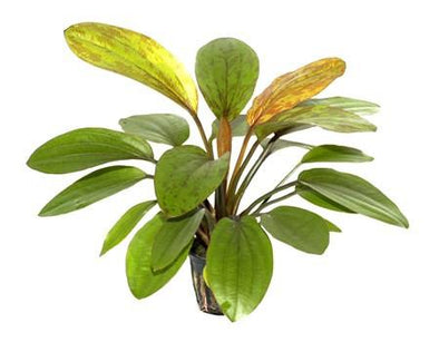 Echinodorus 'Rosé' Tropica - Aquascaping, [Product_type] - Aquarium plants Canada, [Product_vendor] - Aquarium stone, Driftwood, [shop name] The Wet Leaf