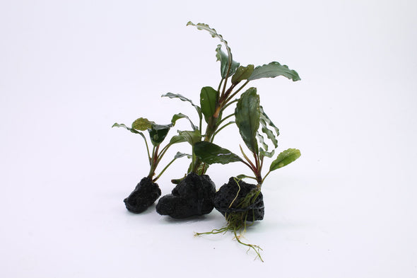 "Bucephalandra sp. ""Hades"" - Aquascaping, [Product_type] - Aquarium plants Canada, [Product_vendor] - Aquarium stone, Driftwood, [shop name] The Wet Leaf"