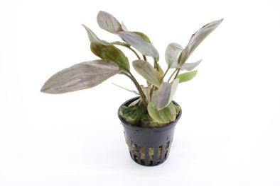 Lagenandra meeboldii red Tropica - Aquascaping, [Product_type] - Aquarium plants Canada, [Product_vendor] - Aquarium stone, Driftwood, [shop name] The Wet Leaf