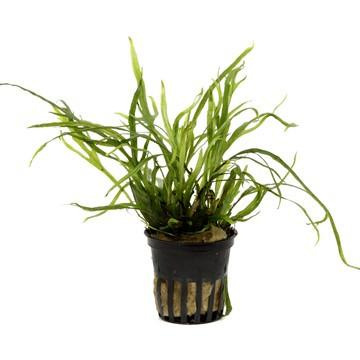 Java Fern, Microsorum pteropus 'Trident' - Aquascaping, [Product_type] - Aquarium plants Canada, [Product_vendor] - Aquarium stone, Driftwood, [shop name] The Wet Leaf