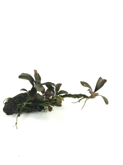 Bucephalandra Dark Wave - Aquascaping, [Product_type] - Aquarium plants Canada, [Product_vendor] - Aquarium stone, Driftwood, [shop name] The Wet Leaf