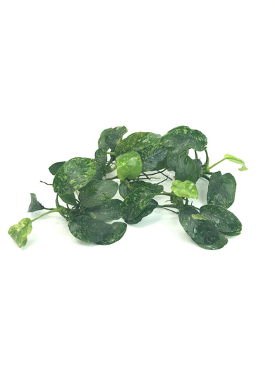 Anubias Wavy Marble - Aquascaping, [Product_type] - Aquarium plants Canada, [Product_vendor] - Aquarium stone, Driftwood, [shop name] The Wet Leaf
