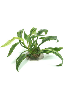 Anubias Minima Marble - Aquascaping, [Product_type] - Aquarium plants Canada, [Product_vendor] - Aquarium stone, Driftwood, [shop name] The Wet Leaf