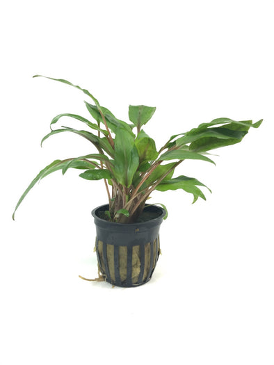 Cryptocoryne Undulatus TWL - Aquascaping, [Product_type] - Aquarium plants Canada, [Product_vendor] - Aquarium stone, Driftwood, [shop name] The Wet Leaf