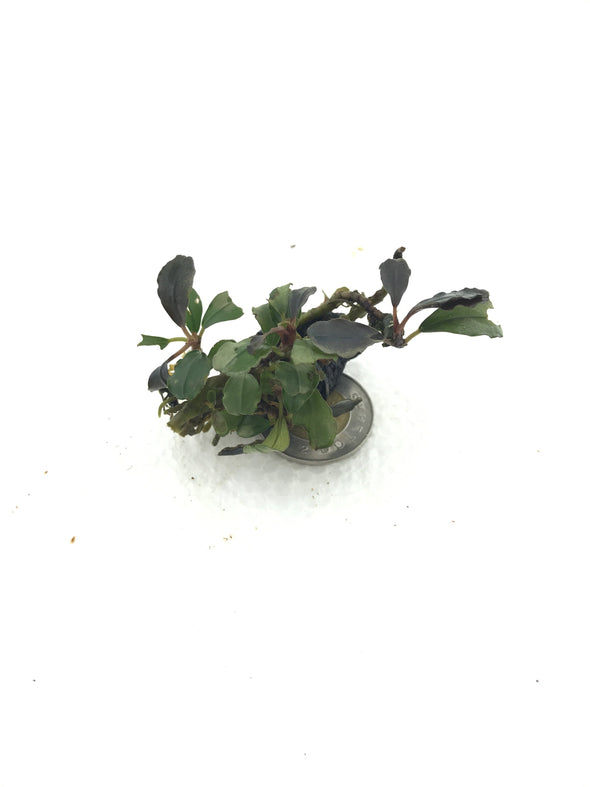 Bucephalandra Lamandau Purple Individual Plant - Aquascaping, [Product_type] - Aquarium plants Canada, [Product_vendor] - Aquarium stone, Driftwood, [shop name] The Wet Leaf