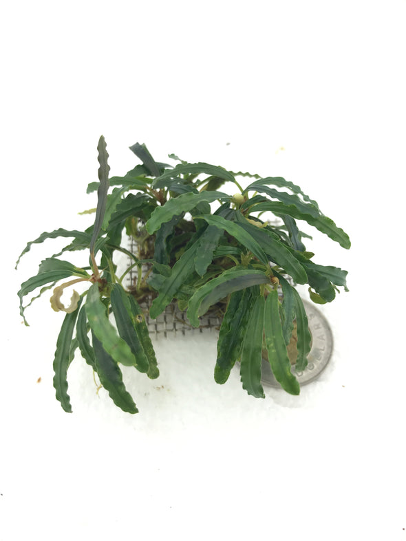 Bucephalandra Catherine Clump #3 - Aquascaping, [Product_type] - Aquarium plants Canada, [Product_vendor] - Aquarium stone, Driftwood, [shop name] The Wet Leaf