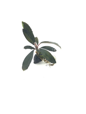 "Bucephalandra sp. ""Cascade King"" - Aquascaping, [Product_type] - Aquarium plants Canada, [Product_vendor] - Aquarium stone, Driftwood, [shop name] The Wet Leaf"