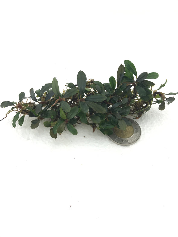 Bucephalandra Arrowhead #3 - Aquascaping, [Product_type] - Aquarium plants Canada, [Product_vendor] - Aquarium stone, Driftwood, [shop name] The Wet Leaf