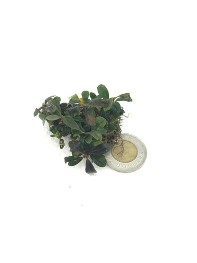 Bucephalandra Brownie Amanda Clump #6 - Aquascaping, [Product_type] - Aquarium plants Canada, [Product_vendor] - Aquarium stone, Driftwood, [shop name] The Wet Leaf