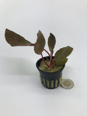Homalomena humilis Red - Aquascaping, [Product_type] - Aquarium plants Canada, [Product_vendor] - Aquarium stone, Driftwood, [shop name] The Wet Leaf