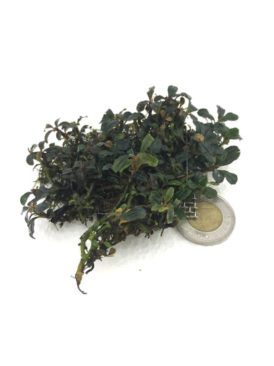Bucephalandra Cherry Clump #2 - Aquascaping, [Product_type] - Aquarium plants Canada, [Product_vendor] - Aquarium stone, Driftwood, [shop name] The Wet Leaf