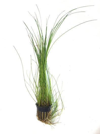 Eleocharis montevidensis  TWL - Aquascaping, [Product_type] - Aquarium plants Canada, [Product_vendor] - Aquarium stone, Driftwood, [shop name] The Wet Leaf