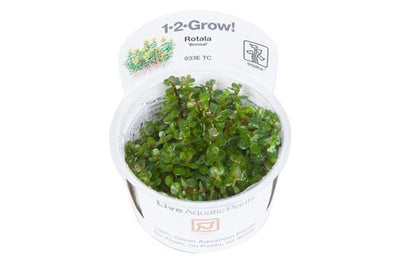 Rotala 'Bonsai' 1-2 Grow - Aquascaping, [Product_type] - Aquarium plants Canada, [Product_vendor] - Aquarium stone, Driftwood, [shop name] The Wet Leaf
