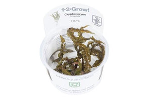 Cryptocoryne crispatula 1-2 Grow