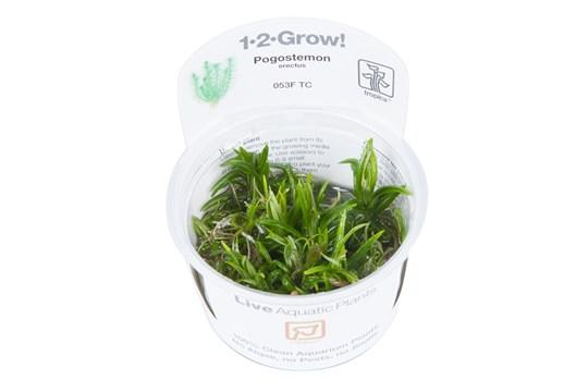 Pogostemon erectus 1-2 Grow