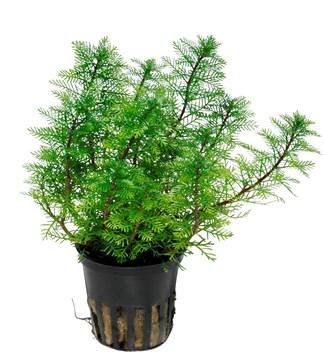 Myriophyllum mattogrossense Tropica - Aquascaping, [Product_type] - Aquarium plants Canada, [Product_vendor] - Aquarium stone, Driftwood, [shop name] The Wet Leaf