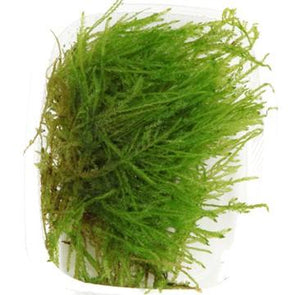 Spiky Moss Tropica - Aquascaping, [Product_type] - Aquarium plants Canada, [Product_vendor] - Aquarium stone, Driftwood, [shop name] The Wet Leaf