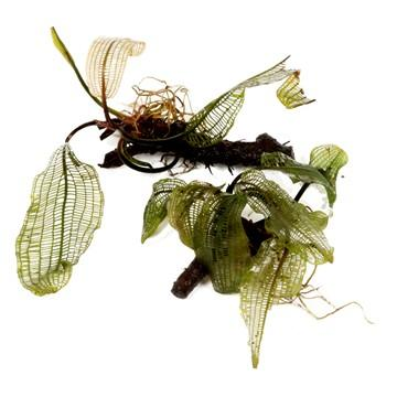 Aponogeton Madagascariensis - Aquascaping, [Product_type] - Aquarium plants Canada, [Product_vendor] - Aquarium stone, Driftwood, [shop name] The Wet Leaf