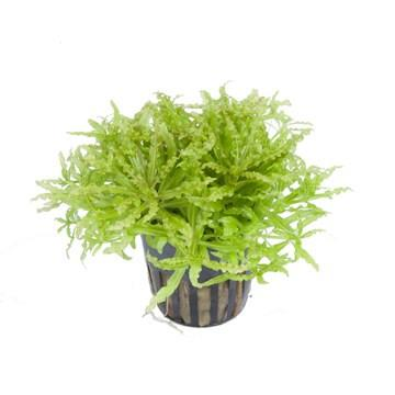 Pogostemon Helferi Tropica - Aquascaping, [Product_type] - Aquarium plants Canada, [Product_vendor] - Aquarium stone, Driftwood, [shop name] The Wet Leaf