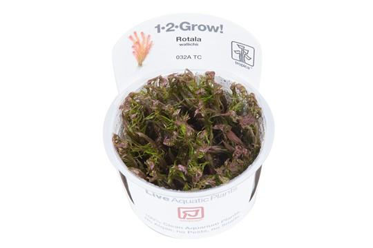 Rotala wallichii - Aquascaping, [Product_type] - Aquarium plants Canada, [Product_vendor] - Aquarium stone, Driftwood, [shop name] The Wet Leaf