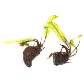 Aponogeton longiplumulosus - Aquascaping, [Product_type] - Aquarium plants Canada, [Product_vendor] - Aquarium stone, Driftwood, [shop name] The Wet Leaf