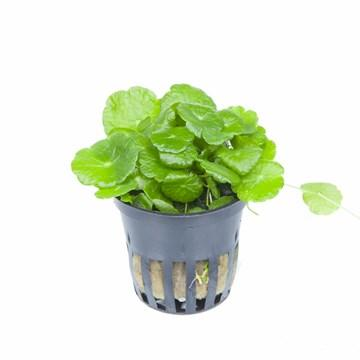 Hydrocotyle verticillata - Aquascaping, [Product_type] - Aquarium plants Canada, [Product_vendor] - Aquarium stone, Driftwood, [shop name] The Wet Leaf