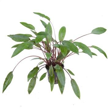 Cryptocoryne petchii  Tropica - Aquascaping, [Product_type] - Aquarium plants Canada, [Product_vendor] - Aquarium stone, Driftwood, [shop name] The Wet Leaf