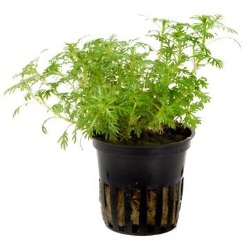 Hottonia palustris  Tropica - Aquascaping, [Product_type] - Aquarium plants Canada, [Product_vendor] - Aquarium stone, Driftwood, [shop name] The Wet Leaf