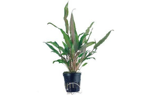 Cryptocoryne undulata Broad Leaves Tropica - Aquascaping, [Product_type] - Aquarium plants Canada, [Product_vendor] - Aquarium stone, Driftwood, [shop name] The Wet Leaf