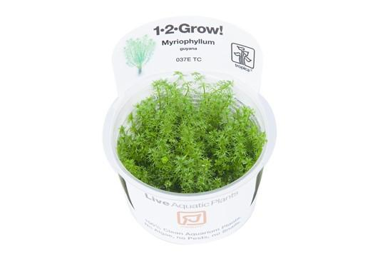 Myriophyllum Guyana 1-2 Grow - Aquascaping, [Product_type] - Aquarium plants Canada, [Product_vendor] - Aquarium stone, Driftwood, [shop name] The Wet Leaf
