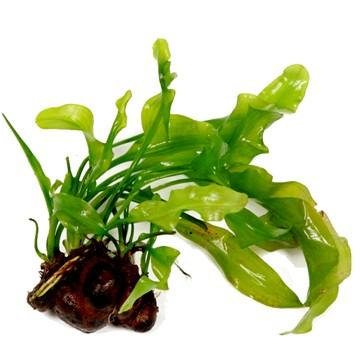 Aponogeton ulvaceus - Aquascaping, [Product_type] - Aquarium plants Canada, [Product_vendor] - Aquarium stone, Driftwood, [shop name] The Wet Leaf