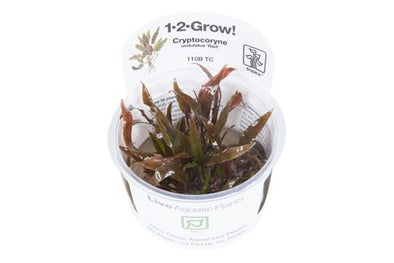 "Cryptocoryne undulatus ""red"" 1-2 Grow"