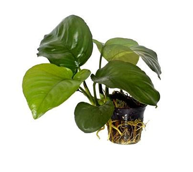Anubias barteri caladifolia Tropica - Aquascaping, [Product_type] - Aquarium plants Canada, [Product_vendor] - Aquarium stone, Driftwood, [shop name] The Wet Leaf