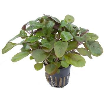 Lobelia cardinalis Tropica - Aquascaping, [Product_type] - Aquarium plants Canada, [Product_vendor] - Aquarium stone, Driftwood, [shop name] The Wet Leaf
