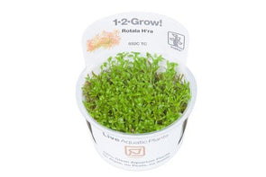 Rotala H'ra 1-2 Grow - Aquascaping, [Product_type] - Aquarium plants Canada, [Product_vendor] - Aquarium stone, Driftwood, [shop name] The Wet Leaf