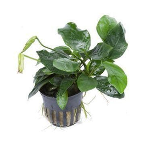 Anubias barteri var. nana  'large'  Tropica - Aquascaping, [Product_type] - Aquarium plants Canada, [Product_vendor] - Aquarium stone, Driftwood, [shop name] The Wet Leaf