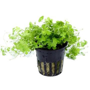 Hydrocotyle tripartita Tropica - Aquascaping, [Product_type] - Aquarium plants Canada, [Product_vendor] - Aquarium stone, Driftwood, [shop name] The Wet Leaf