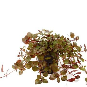 Ludwigia palustris Tropica - Aquascaping, [Product_type] - Aquarium plants Canada, [Product_vendor] - Aquarium stone, Driftwood, [shop name] The Wet Leaf