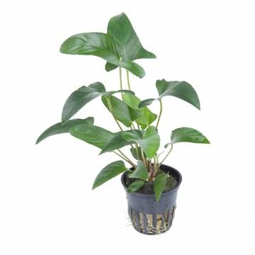 Anubias Gracilis Tropica - Aquascaping, [Product_type] - Aquarium plants Canada, [Product_vendor] - Aquarium stone, Driftwood, [shop name] The Wet Leaf