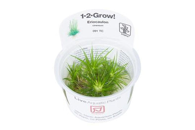 Eriocaulon cinereum 1-2 Grow