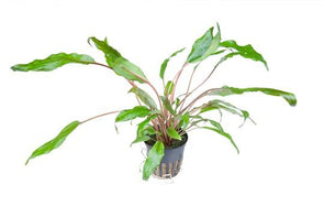 Cryptocoryne wendtii Tropica - Aquascaping, [Product_type] - Aquarium plants Canada, [Product_vendor] - Aquarium stone, Driftwood, [shop name] The Wet Leaf