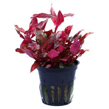 Alternanthera reineckii Rosanervig Tropica - Aquascaping, [Product_type] - Aquarium plants Canada, [Product_vendor] - Aquarium stone, Driftwood, [shop name] The Wet Leaf
