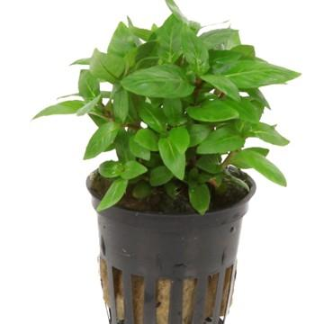 Staurogyne repens Tropica - Aquascaping, [Product_type] - Aquatic Plants, [Product_vendor] -The Wet Leaf Aquarium Plants Canada