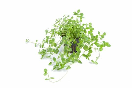 Rotala Green Tropica - Aquascaping, [Product_type] - Aquarium plants Canada, [Product_vendor] - Aquarium stone, Driftwood, [shop name] The Wet Leaf