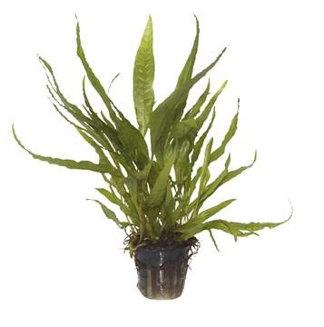 Java Fern, Microsorum pteropus Tropica - Aquascaping, [Product_type] - Aquarium plants Canada, [Product_vendor] - Aquarium stone, Driftwood, [shop name] The Wet Leaf