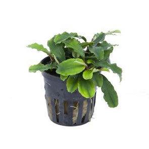Bucephalandra 'Wavy Green' Tropica - Aquascaping, [Product_type] - Aquarium plants Canada, [Product_vendor] - Aquarium stone, Driftwood, [shop name] The Wet Leaf